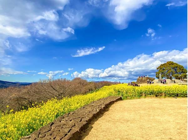 休日は菜の花が美しい吾妻山公園までハイキング
